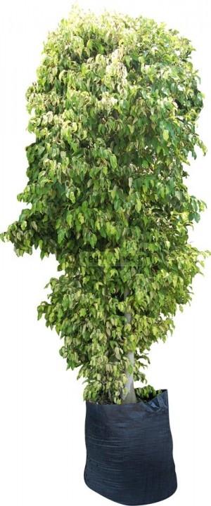 Red viverista plantas de vivero en mexico - Ficus benjamina precio ...